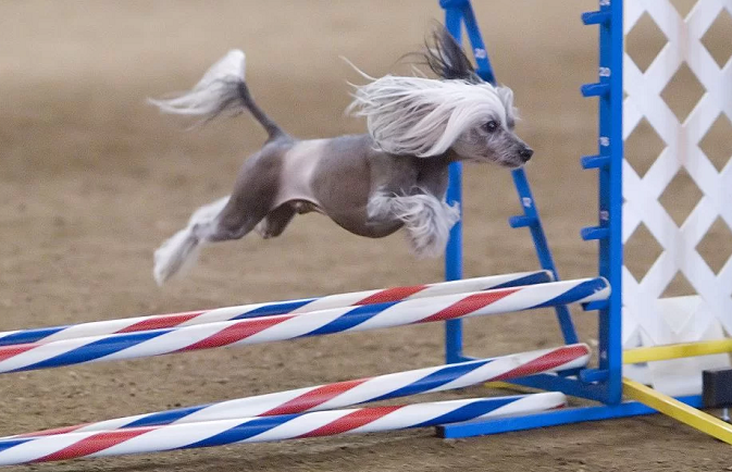 Female Chinese Crested