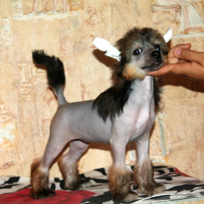 Hairless Chinese Crested